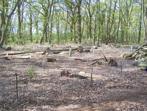 Our coppice woodland after cutting