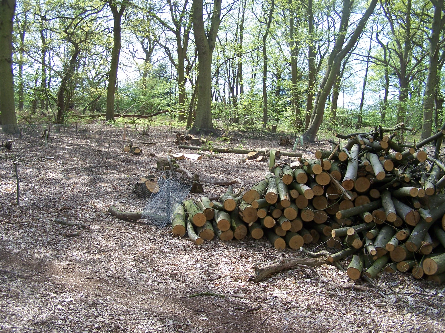 Chestnut logs in our coppiced woodland