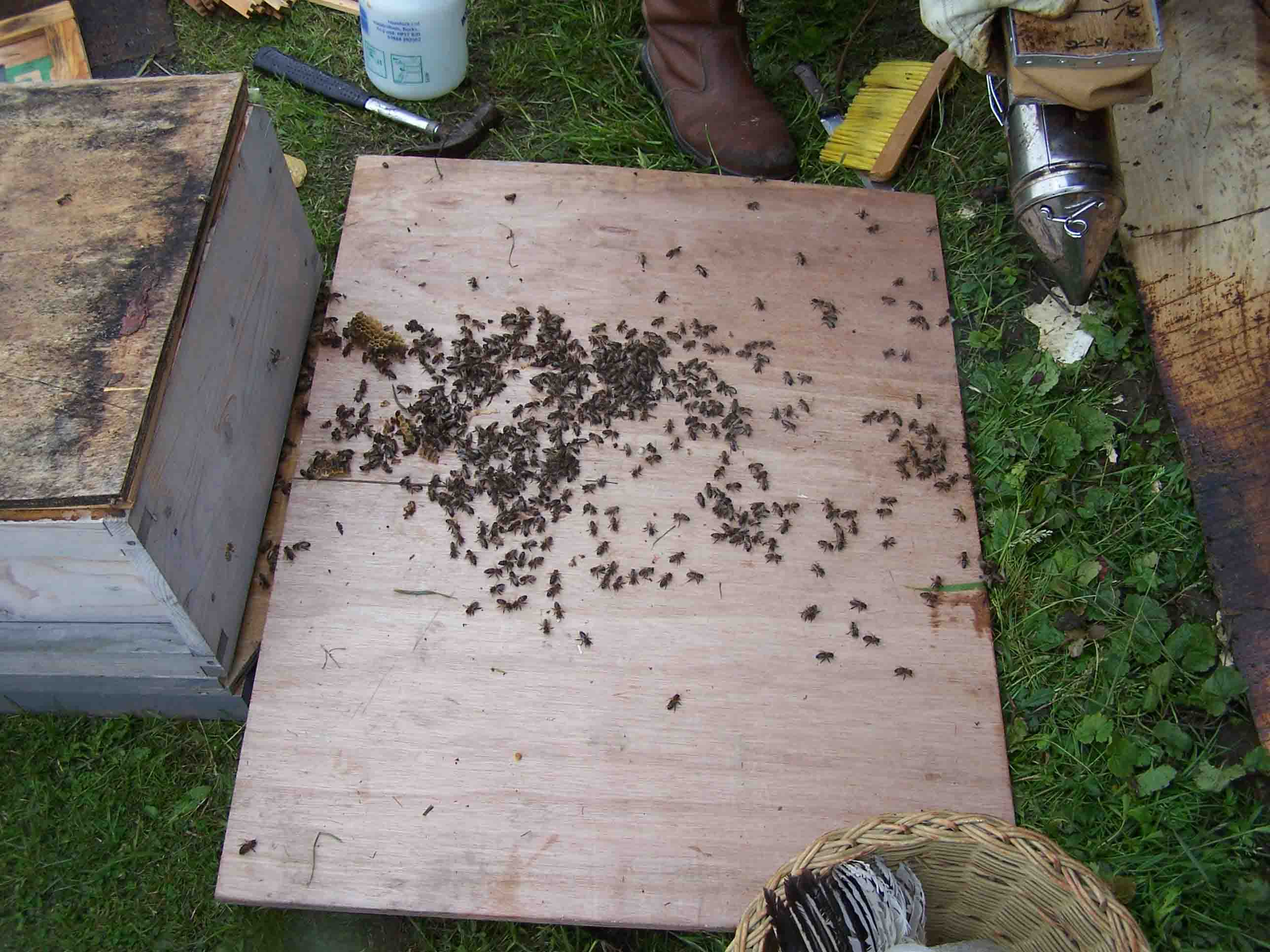 brushing the loose bees in front of brood box